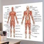 Anatomie - Les muscles humains